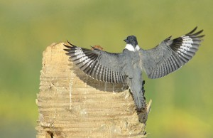 Photo courtesy of Charlie Corbeil Belted Kingfisher in Flight