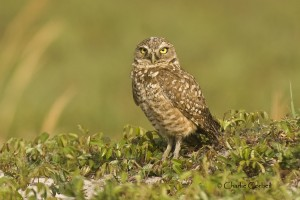 Photo courtesy of Charlie Corbeil Burrowing Owl