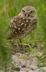 Photo courtesy of Charlie Corbeil Burrowing Owl in Viera