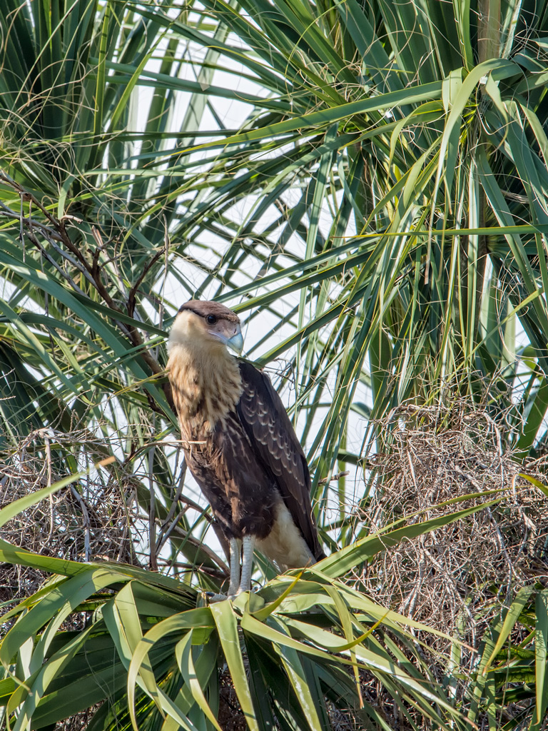 Photo courtesy of Vince Lamb Caracara fledgling in Viera fields