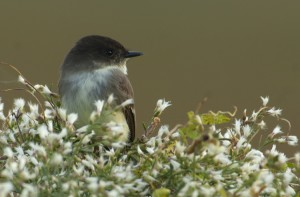 Photo courtesy of Charlie Corbeil Eastern Phoebe