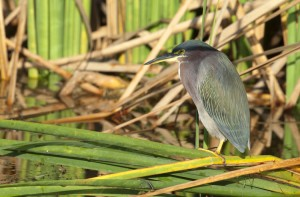 Photo courtesy of Charlie Corbeil Green Heron