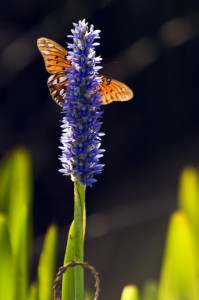 Photo courtesy of Charlie Corbeil Pickerel Weed and Gulf Fritillary