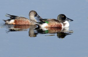 Photo courtesy of Charlie Corbeil Shoveler Pair