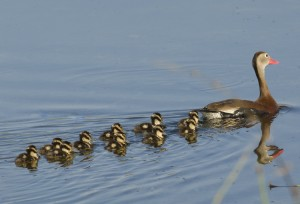 Photo courtesy of Charlie Corbeil Black-bellied Whistling Duck with 10 Chicks