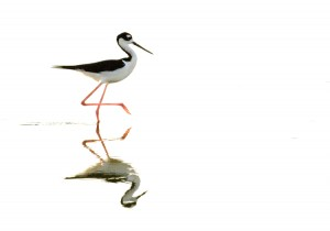 Photo courtesy of Charlie Corbeil Black-necked Stilt