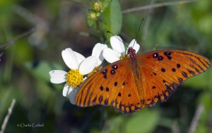 Photo courtesy of Charlie Corbeil Gulf Fritillary on Spanish Needles
